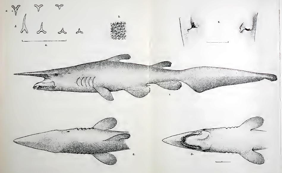 Mitsukurina owstoni   Shark-References